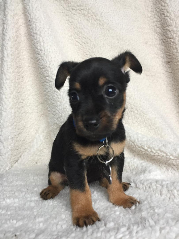 Yorkshire Terrier For Sale Fredericksburg, OH Male- Ozzie