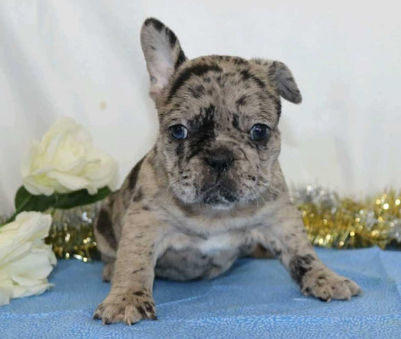 AKC Registered French Bulldog For Sale Wooster, OH Female- Paris