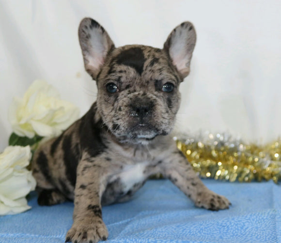 AKC Registered French Bulldog For Sale Wooster, OH Female- Paula