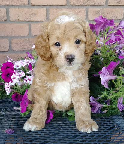 Cockapoo For Sale Millersburg, OH Male- Twinkie