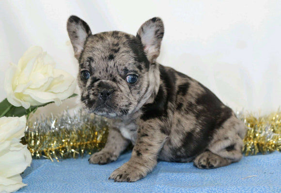 AKC Registered French Bulldog For Sale Wooster, OH Female- Penny