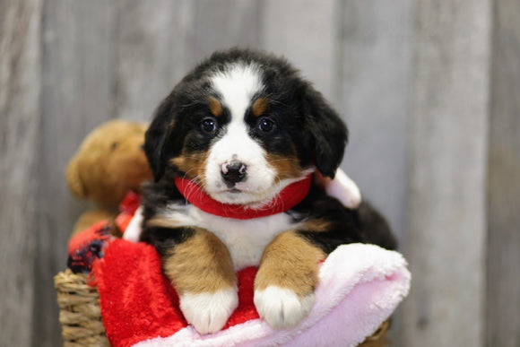 AKC Registered Bernese Mountain Dog For Sale Brinkhaven, OH Female- Penny