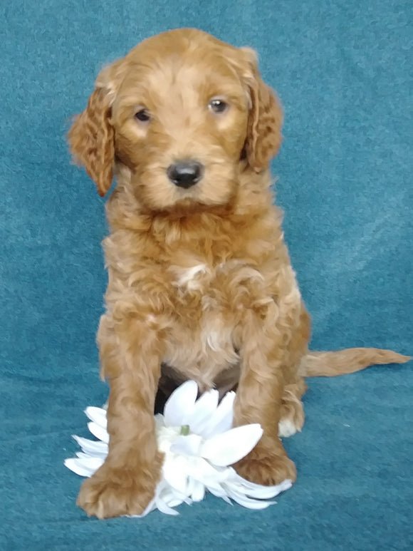 Goldendoodle For Sale Millersburg, OH Male- Pepsi