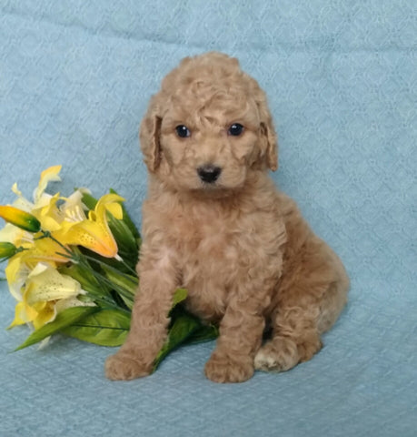 F1B Mini Labradoodle For Sale Millersburg, OH Female- Petunia