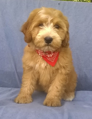 Mini Aussiedoodle For Sale Berlin, OH Female- Rosy *SALE PENDING*