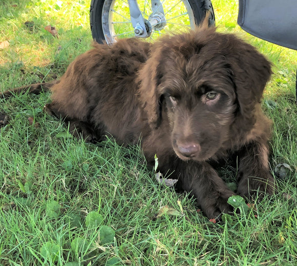 Labradoodle For Sale Sugarcreek, OH Female- Princess *Special Needs*