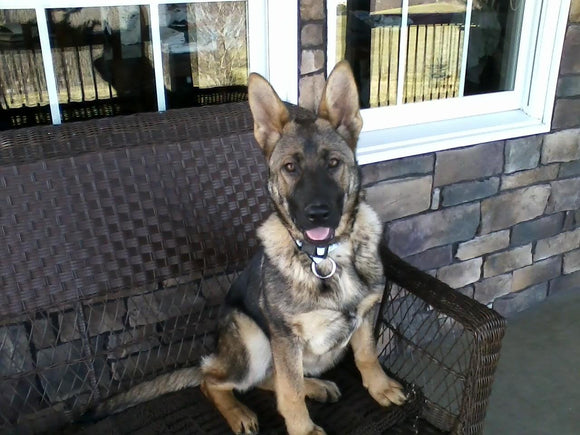 AKC Registered German Shepherd For Sale Millersburg, OH Female- Princey Kate