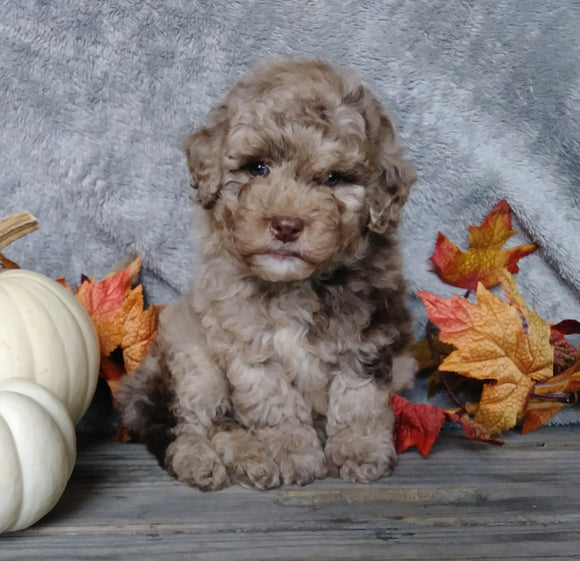 F1B Mini Labradoodle For Sale Millersburg, OH Male- Pumpkin