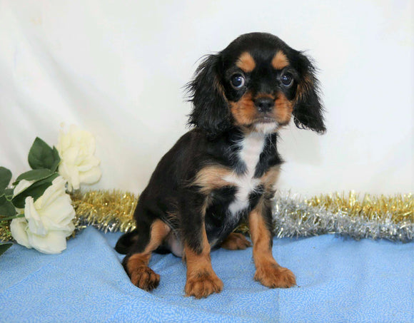 AKC Registered Cavalier King Charles Spaniel For Sale Wooster, OH Male- Quant