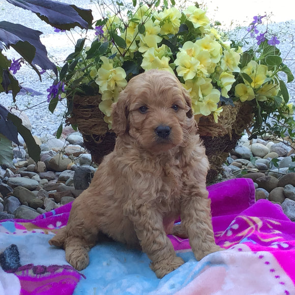 Mini Goldendoodle For Sale Fredericksburg, OH Male- Quinton