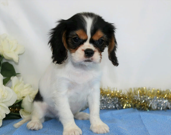 AKC Registered Cavalier King Charles Spaniel For Sale Wooster, OH Male- Quincy
