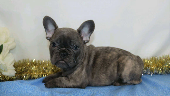 AKC Registered French Bulldog For Sale Wooster, OH Female- Raine