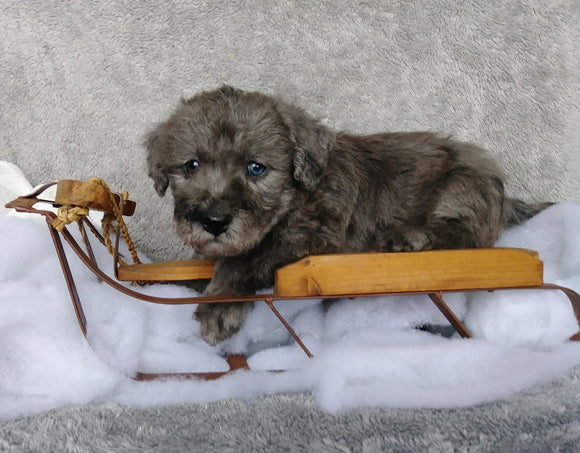 F1B Mini Labradoodle For Sale Millersburg, OH Male- Raisin