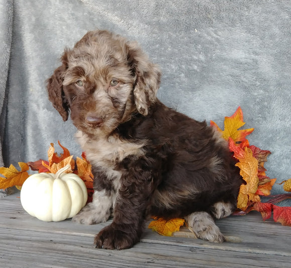 F1B Medium Labradoodle For Sale Millersburg, OH Male- Ralph