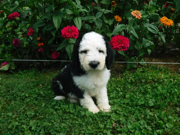F1B Sheepadoodle For Sale Baltic, OH Male- Rambo