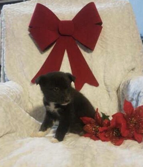 Siberian Husky Mix For Sale Warsaw, OH Male- Rambo