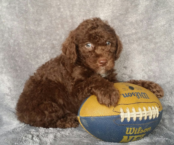 Mini Labradoodle For Sale Millersburg, OH Male- Ricky