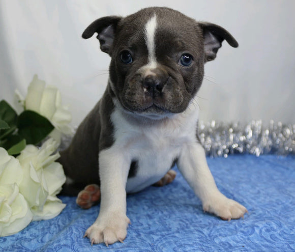 AKC Registered Boston Terrier For Sale Wooster, OH Male- Rocky