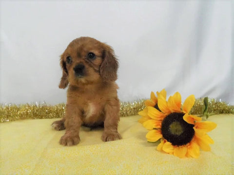 AKC Registered Cavalier King Charles Spaniel For Sale Wooster OH, Male- Roland
