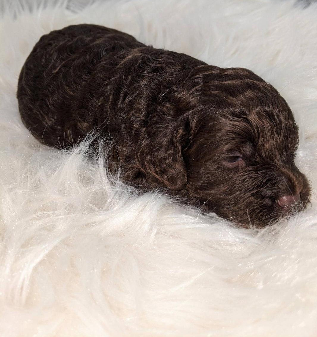 Cockapoo Puppy For Sale Dundee Ohio Male Ronnie Ac Puppies Llc