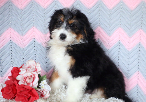 Mini Bernedoodle Puppy For Sale Mansfield, OH Male- Roscoe