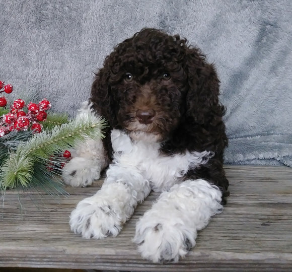 Medium F1B Labradoodle For Sale Millersburg, OH Male- Roscoe