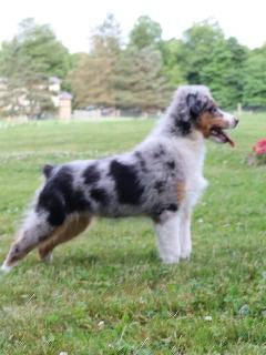 Australian Shepherd For Sale Fredericksburg, OH Male Roscoe