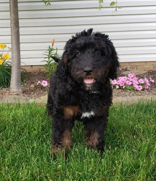 Bernedoodle For Sale Sugarcreek, OH Female- Rose