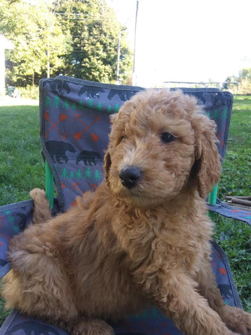 F2 Standard Goldendoodle For Sale New Waterford, OH Female- Rose