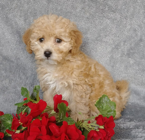 F1B Mini Labradoodle For Sale Millersburg, OH Female- Rosebud