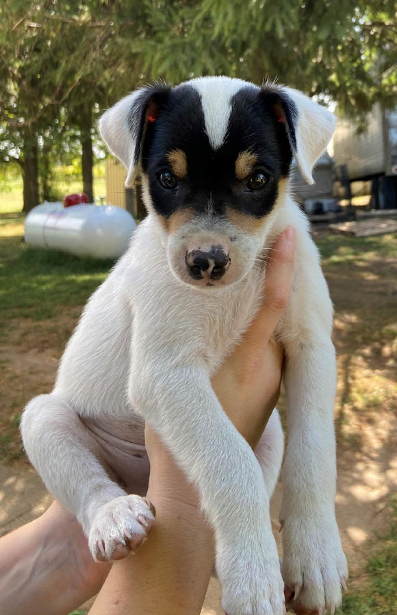 Rat Terrier For Sale Tampico, Illinois Male- Rowdy