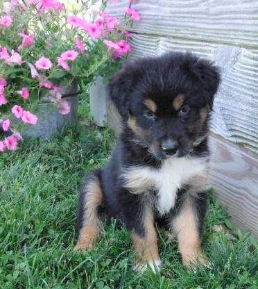 Australian Shepherd For Sale Baltic, OH Female- Roxy