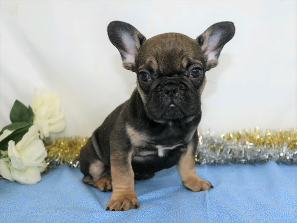 AKC Registered French Bulldog For Sale Wooster, OH Male- Royal