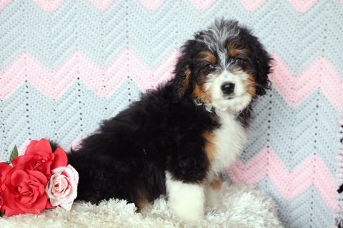 Mini Bernedoodle Puppy For Sale Mansfield, OH Male- Rugby