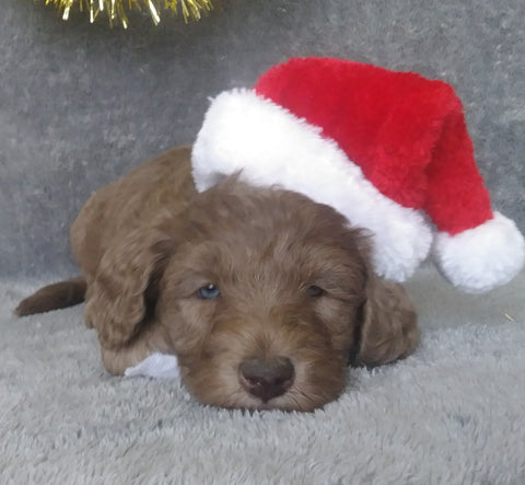 Mini Labradoodle For Sale Millersburg, OH Male- Stocking