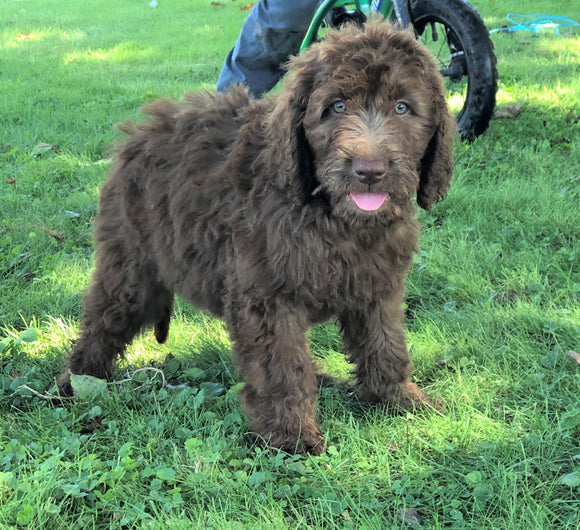 Labradoodle For Sale Sugarcreek, OH Female- Sally