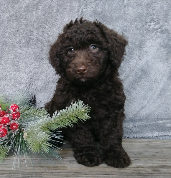 Medium F1B Labradoodle For Sale Millersburg, OH Female- Sally