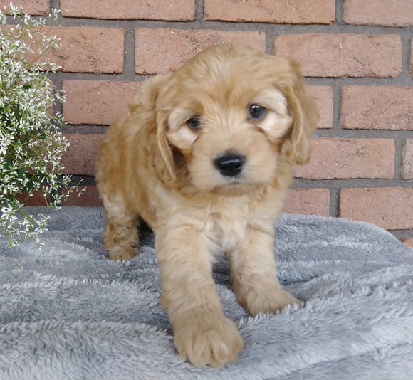 F1B Mini Labradoodle For Sale Millersburg, OH Female- Sally