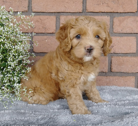 F1B Mini Labradoodle For Sale Millersburg, OH Female- Samantha