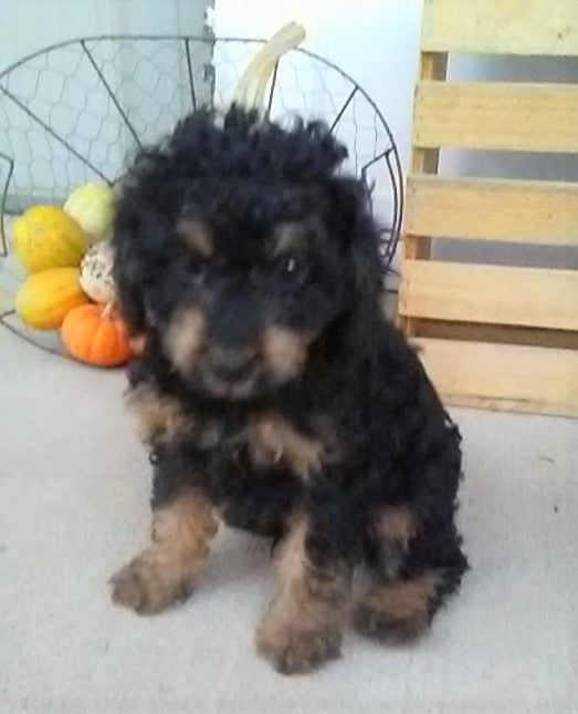 F1B Cavapoo For Sale Sugarcreek, OH Male- Sammy