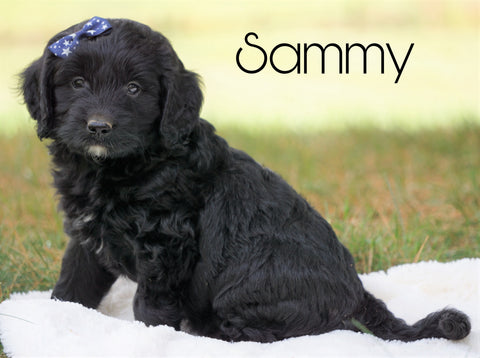 Mini Goldendoodle For Sale Sugarcreek, OH Male - Sammy
