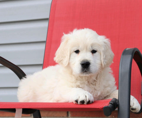 English Cream Golden Retriever For Sale Fredericksburg, OH Male- Santana