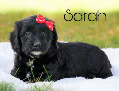 Mini Goldendoodle For Sale Sugarcreek, OH Female - Sarah