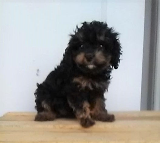 F1B Cavapoo For Sale Sugarcreek, OH Female- Sasha