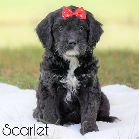 Mini Goldendoodle For Sale Sugarcreek, OH Female - Scarlet
