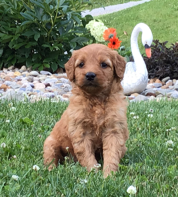 Mini Goldendoodle For Sale Fredericksburg, OH Female- Shasta