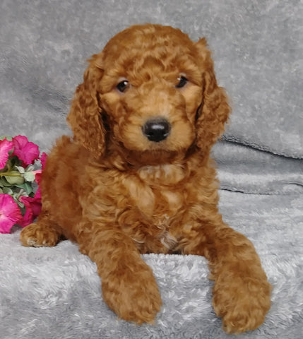 Goldendoodle For Sale Millersburg, OH Female- Sierra Mist