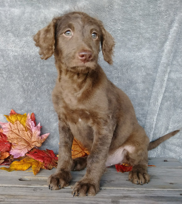 F1B Medium Labradoodle For Sale Millersburg, OH Male- Simon