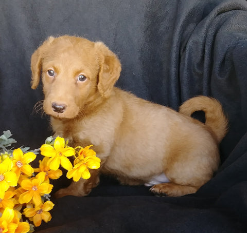 F1B Mini Labradoodle For Sale Millersburg, OH Male- Skippy
