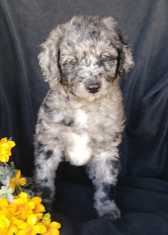 F1B Mini Labradoodle For Sale Millersburg, OH Female- Skittles